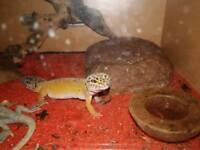 Lizard , pet