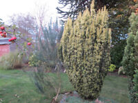 Mature conifers for sale and removal