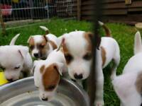 Jack Russell's pups
