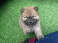 Adorable chunky Chow Chow puppies
