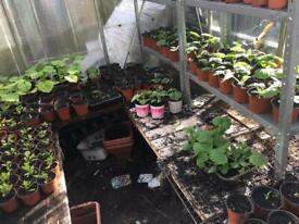 Plants 2 pounds each