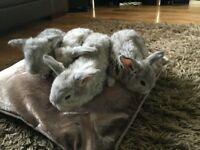 French lop rabbits (9 available)