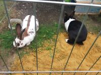 Rabbits (a male and a female) with Run etc