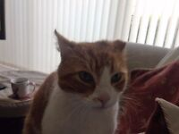 Missing Ginger Tom Cat - Last seen 8th of October -Hillsborough