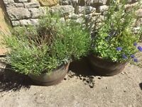 Vintage Oak Whisky Barrel Planters, with or without plants up to 3 available £40 each