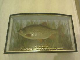 Stuffed roach in front bowed case 1996 excellent condition