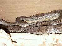 Anery adult corn snake with set up, food and bedding