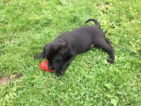 Black Labrador Pups / puppies