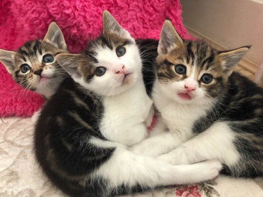 Beautiful tabby kittens for sale