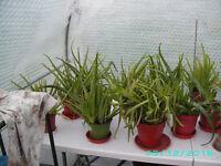 Alovera plants nicknamed the medicine plant,