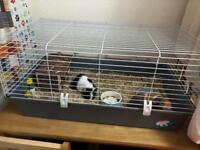 X2 male guinea pigs and cage