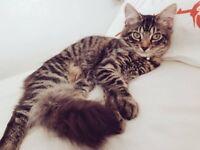 Missing GreyTabby Fluffy Kitten B377FX