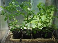 tomato plants from seeds