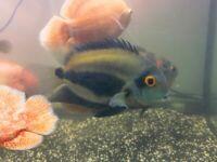 Uaru Silver Port Acara King Kong Parrot Cichlids Fish London Based Seller