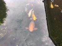 Koi Fish x 13 (Medium - Large)
