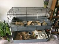 Two Male Guinea Pigs with cage and accessories