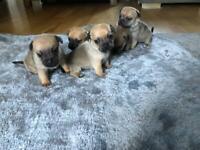 Jug puppies miniature Jack Russell x Pug