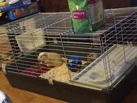 Female guinea pigs and cage