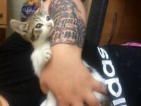 9 week old baby boy kitten Looking for his forever Home!