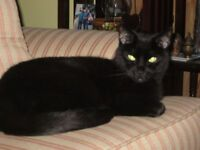 MALE BLACK CAT FREE TO A GOOD HOME