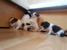 Sealyham x jack russell puppies for sale