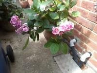 hydranga plant