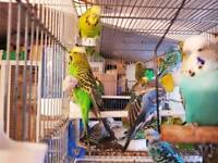 Very large English budgies for sale