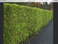 LAUREL HEDGING PLANTS. 24 ins. £2-99