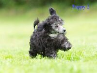 Rare silver toy poodle puppy boys ready to leave now