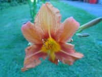 Exotic Orange Flowering Garden Lilies with Buds in Large Terracotta Coloured Pot