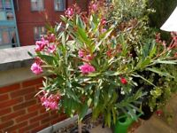Two oleander trees, winter hardy, abt 125 cm high