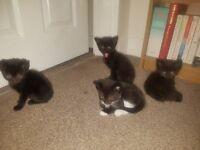 3 Black Kittens & 1 Black n White Kitten