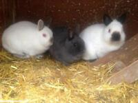 3 Netherland Dwarf Rabbits and FREE Hutch!!!