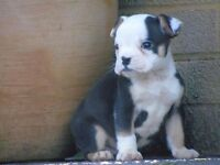 Olde English Bulldogge male puppies ready now