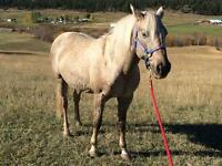 14 year old Quarter Horse-Mare