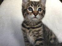 Beautiful Bengal X female kittens ready now!