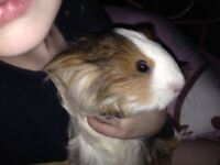 Female Peruvian guineapig six months old