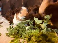 Guinea pig babies. Ready to leave now!