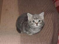 Blue/Silver Kitten For Sale