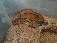 2 lemonblast Royal Pythons