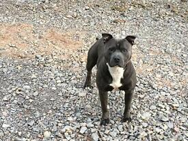 Blue staffy kc reg