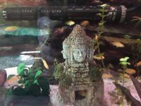 Yellow lab fry (Labidochromis caeruleus) - Malawi cichlids