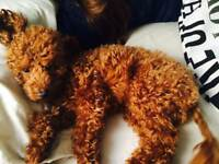 Red apricot cream toy poodles for sale