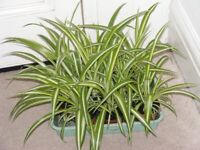 JOB LOT OF SPIDER PLANTS 9 IN TOTAL.