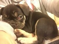 3 chocolate french bulldogs, 2 girls, 1 boy ready for new homes