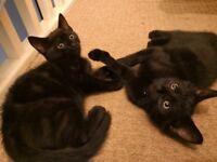 2 black kittens ready now