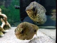 Leopard gouramis