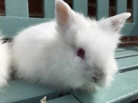 Baby purebred lionhead rabbits