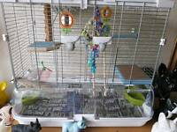 Blue 12 week old budgie with cage