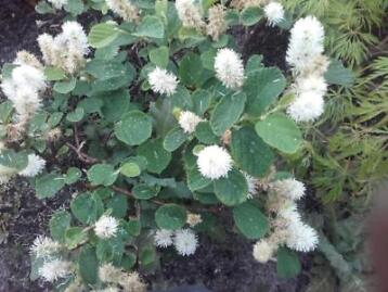 Fothergilla major , lampepoetserstruik / blue shadow